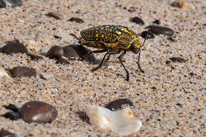 Image Beetle DSC8752 by SESuperViewS